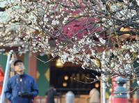 梅の香りに包まれ 亀戸天神社で見頃