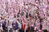 【動画】京都・城南宮でしだれ梅が見頃
