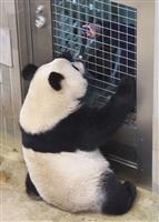 シャンシャンに続け 上野のパンダ、繁殖準備進める