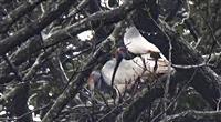 トキの繁殖期スタート 新潟・佐渡、今年初の営巣