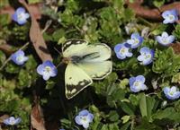 春だけのチョウが舞う…虫撮り人の「正月」