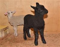 黒いヒツジの赤ちゃん、元気に育つ 群馬の牧場、23日デビュー