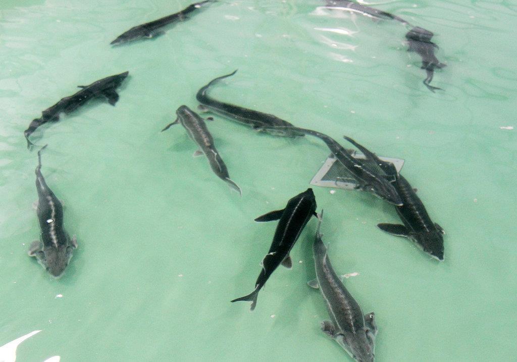 きれいな水で育ったチョウザメ