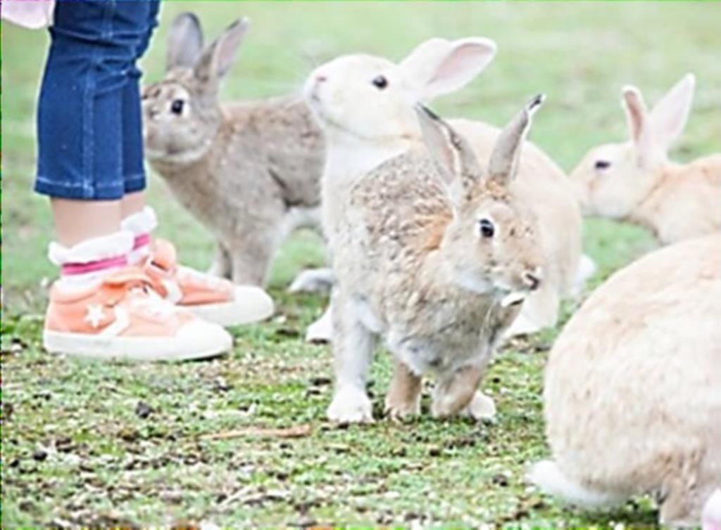 「竹原」ルートで寄港、上陸が推奨される大久野島で繁殖し、観光客に人気のウサギ=広島県竹原市