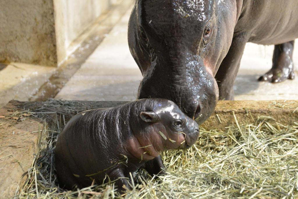 ミニカバの赤ちゃん。シワがとれて体全体が丸みを帯びてきた