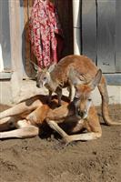 【長野・須坂市動物園】アカカンガルーの「リュウ」 竜の如く「やんちゃ」です