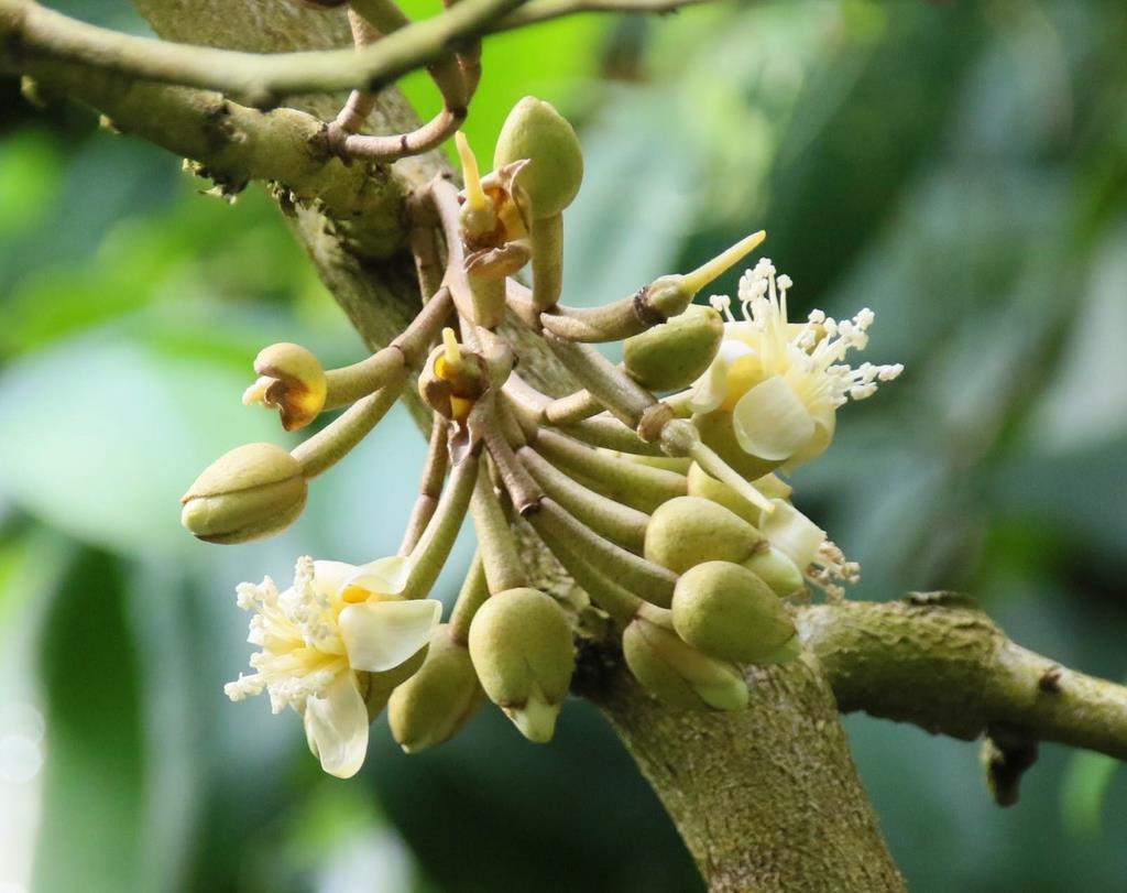 府立植物園で開花したドリアンの花=13日、京都市左京区の京都府立植物園(桑村大撮影)