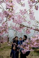 春彩る「河津桜」 姫路セントラルパークで見頃