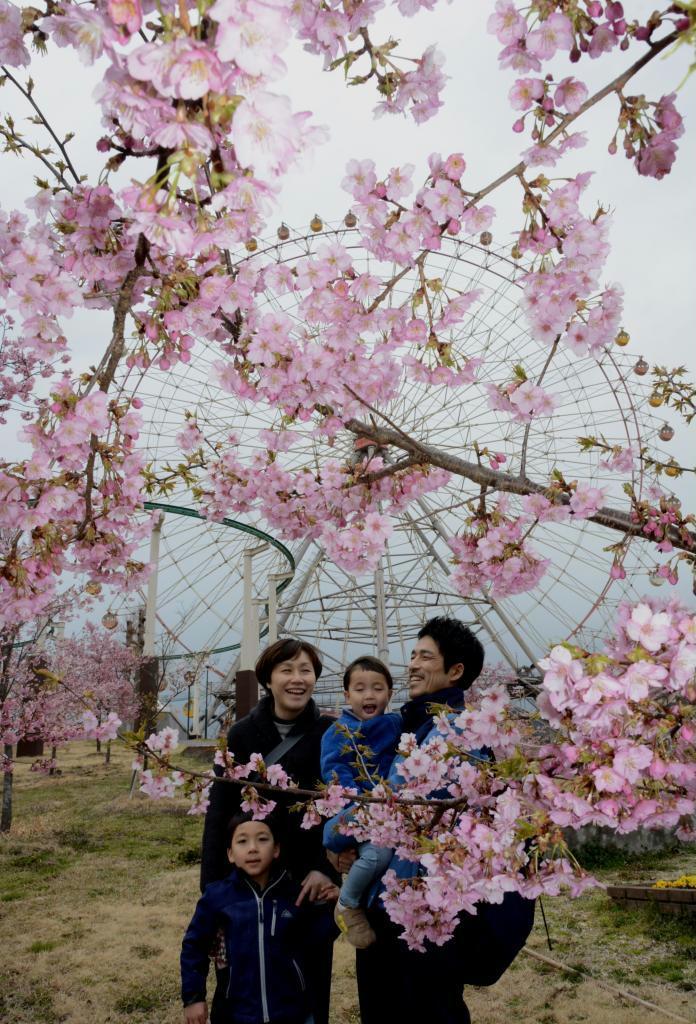 見頃を迎えた姫路セントラルパークの河津桜=姫路市豊富町神谷