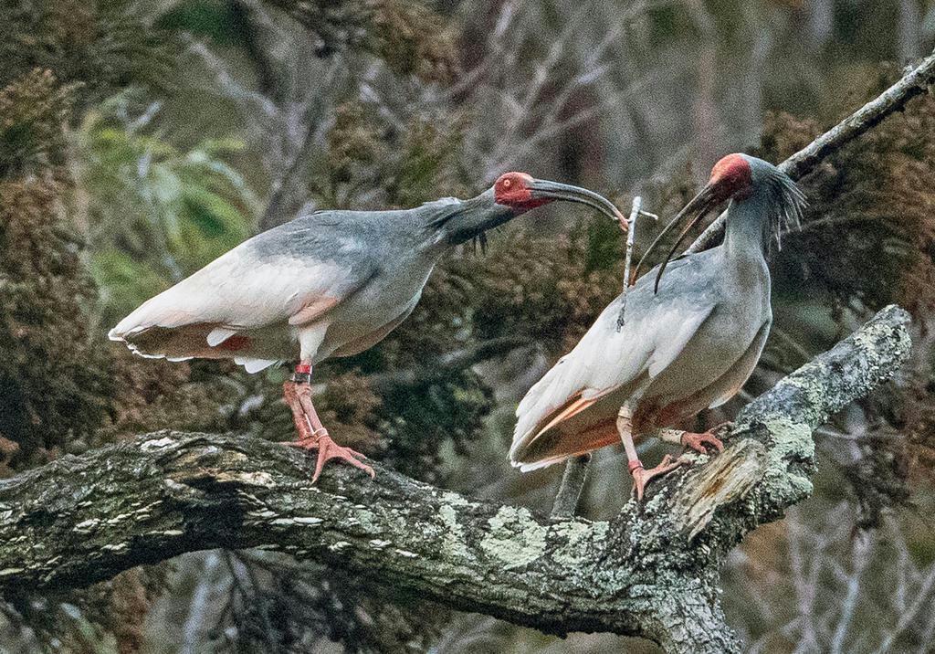 雄から雌への「枝渡し」も愛情表現の一つだ