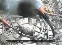 中国提供のトキが産卵 新潟・佐渡、人工ふ化へ
