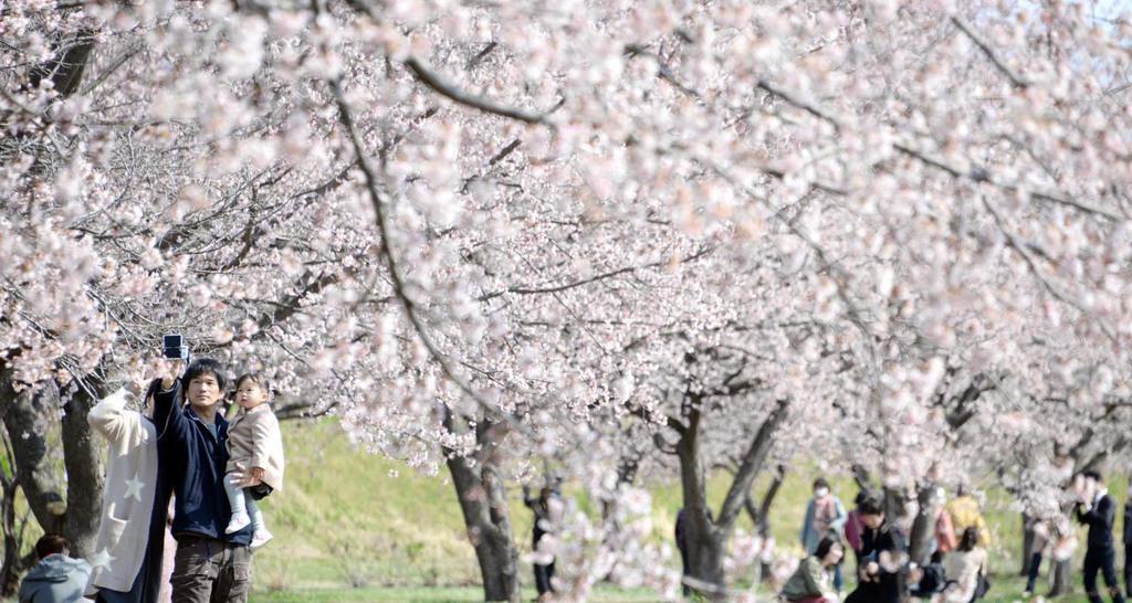 見頃を迎えた北浅羽桜堤公園の安行寒桜=17日午前、埼玉県坂戸市(鴨川一也撮影)