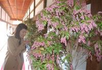 可憐なアセビ盆栽 長浜・大通寺で樹齢200年の古木など展示