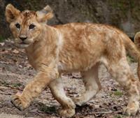 新たにライオン2頭 宮城・八木山動物公園