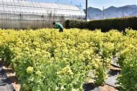 甲州「ハーブ庭園旅日記」で8000本の菜の花満開