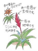 【多田欣也のガーデニングレッスン】(35)異国的なパイナップルの仲間