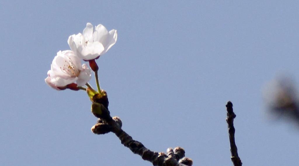 長崎市で開花したソメイヨシノ=20日午後