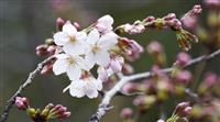 東京都心で桜が開花 平年より5日早く、福岡も