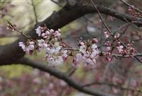 宮城に一足早い春…仙台大学のエドヒガン開花
