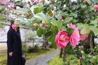 ツバキ200本咲き誇る 京都・霊鑑寺で春の特別公開