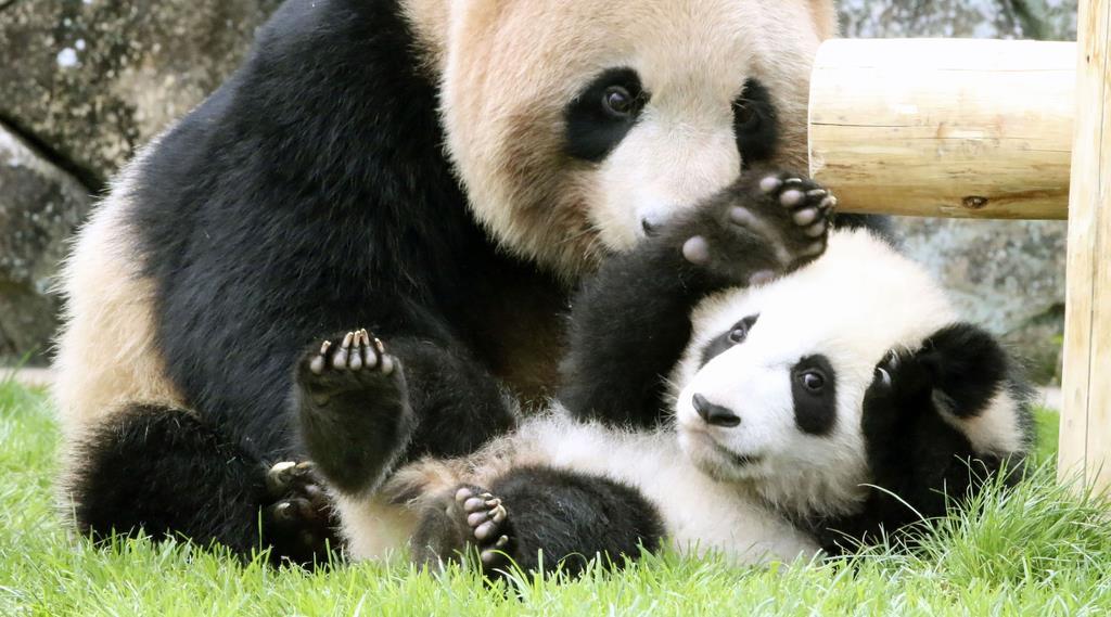 赤ちゃんパンダ「彩浜」、屋外デビュー 和歌山
