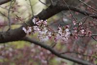 一足早い春の訪れ 仙台大構内でエドヒガン開花