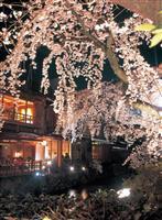 安全対策強化し3年ぶり祇園白川さくらライトアップ復活 29日から