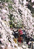 樹齢70年のしだれ桜が見頃 東京・六義園