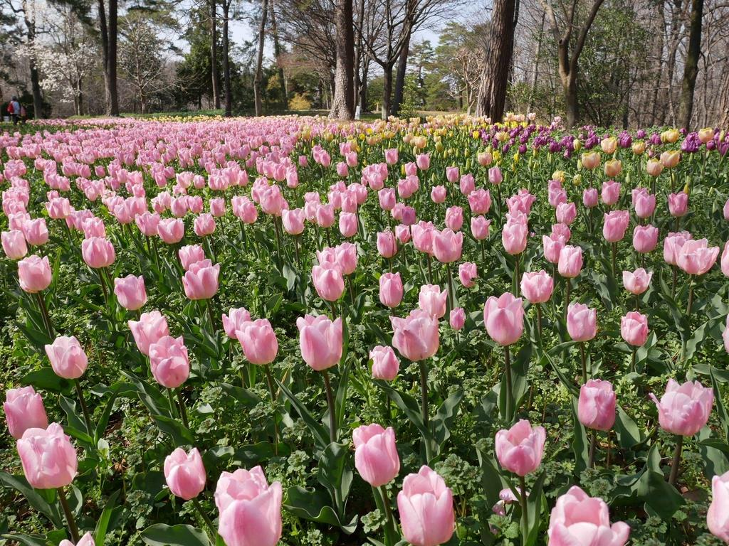 早咲きチューリップ見頃に、埼玉・滑川、国営武蔵丘陵森林公園