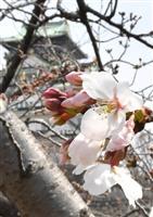 【動画】大阪でも桜開花
