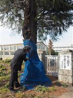 花見シーズン暗雲 カミキリ被害で桜伐採、栃木・足利の小中3校ですでに10本