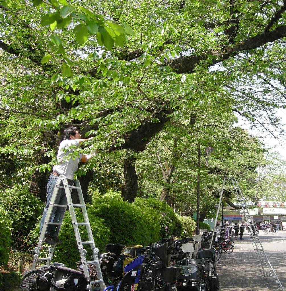 上野恩賜公園で行われた樹木の組織の採取作業(解読チーム提供)