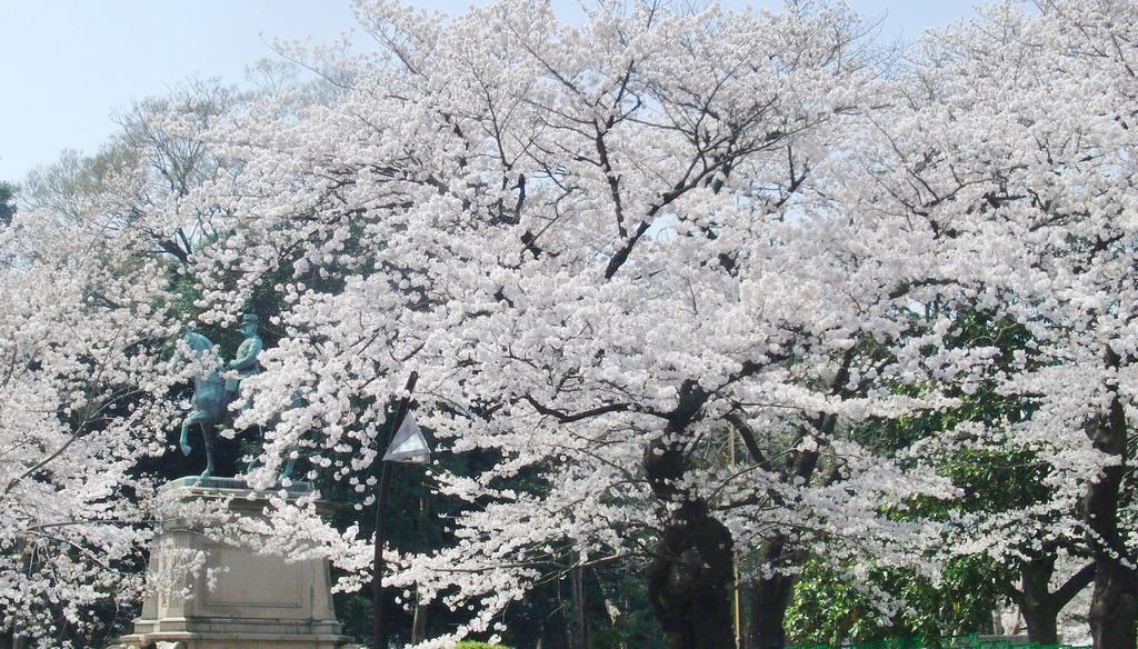 上野恩賜公園のサクラ=2018年3月(解読チーム提供)