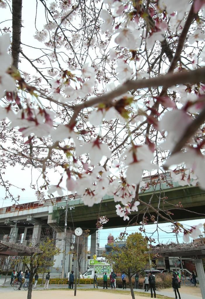 満開の桜の元、支持を訴える候補者=5日午前、大阪市阿倍野区(彦野公太朗撮影)