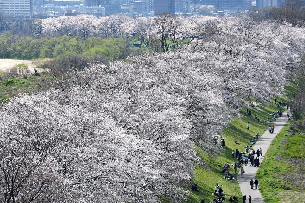 京都・背割堤の桜が見頃 見頃を迎えた背割堤のソメイヨシノ=5日午後、京都府八幡市(永田直也撮影)