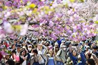 平成最後、桜の通り抜け 台風被害乗り越え、造幣局