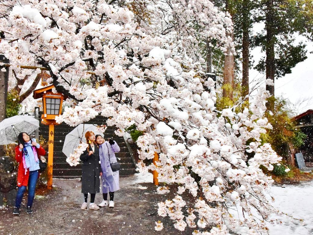 山梨県富士吉田市の新倉富士浅間神社の参道入口で桜の花に積もった雪=10日(昌林龍一撮影)