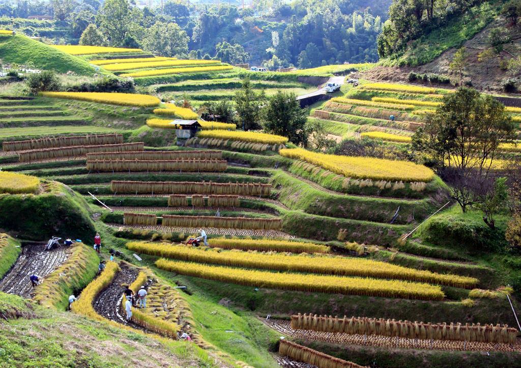 収穫の時期を迎え、黄金色に染まった下赤阪の棚田=大阪府千早赤阪村(同村提供)