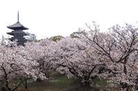 遅咲きの御室桜満開 京都・仁和寺