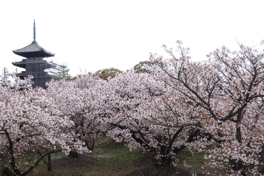 遅咲きで知られる仁和寺の御室桜は今が見頃=京都市右京区