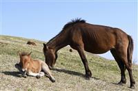 野生馬の赤ちゃん間近で 都井岬で出産相次ぐ