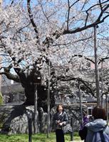 石割桜が見頃に
