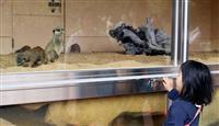 ミーアキャットをのぞき見 とくしま動物園で新施設