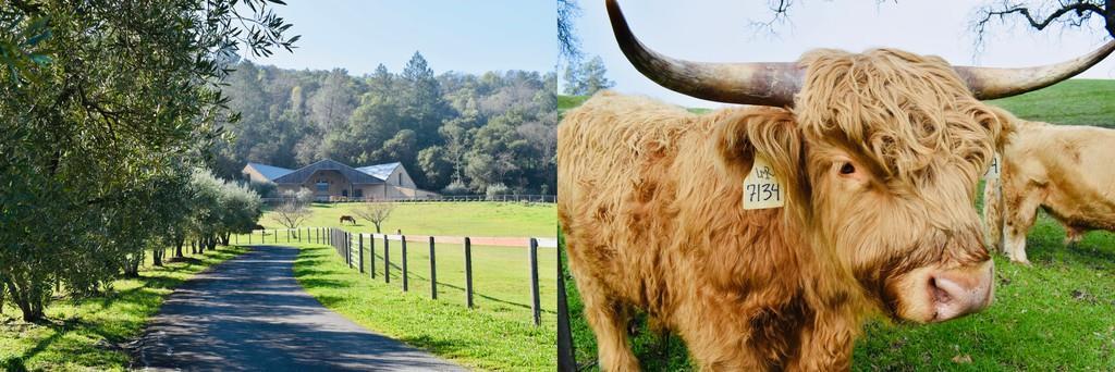 1989年に創業したロング・メドウ・ランチ。マヤカマスの山中にあるワイナリー(左)は緑に囲まれている。飼育されているスコティッシュハイランド牛はワイナリーの象徴でもある