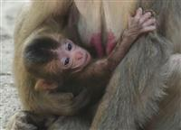 高崎山自然動物園の赤ちゃんザル「レイワ」に 名前公募で最多