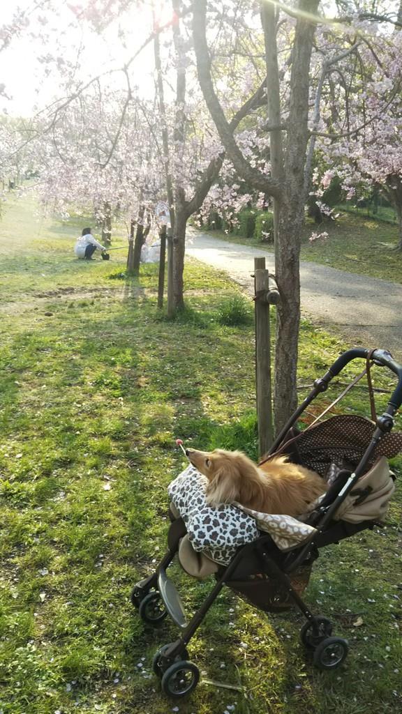 今月のペットちゃん 「桜…綺麗だな!」 フレデイ(16歳) 大阪府和泉市 清水和恵さん