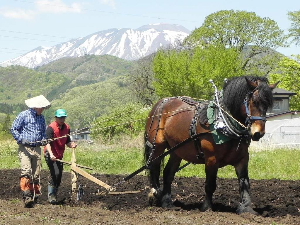 岩手山に程近い畑で、馬に鋤を曳かせる「土起こし」が再現された=13日、岩手県滝沢市(石田征広撮影)