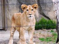 赤ちゃんライオン公開 八木山動物公園