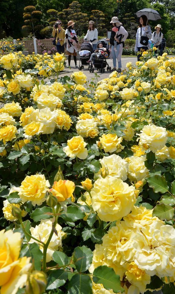 見頃を迎えた長居植物園のバラ=大阪市東住吉区 (安元雄太撮影)