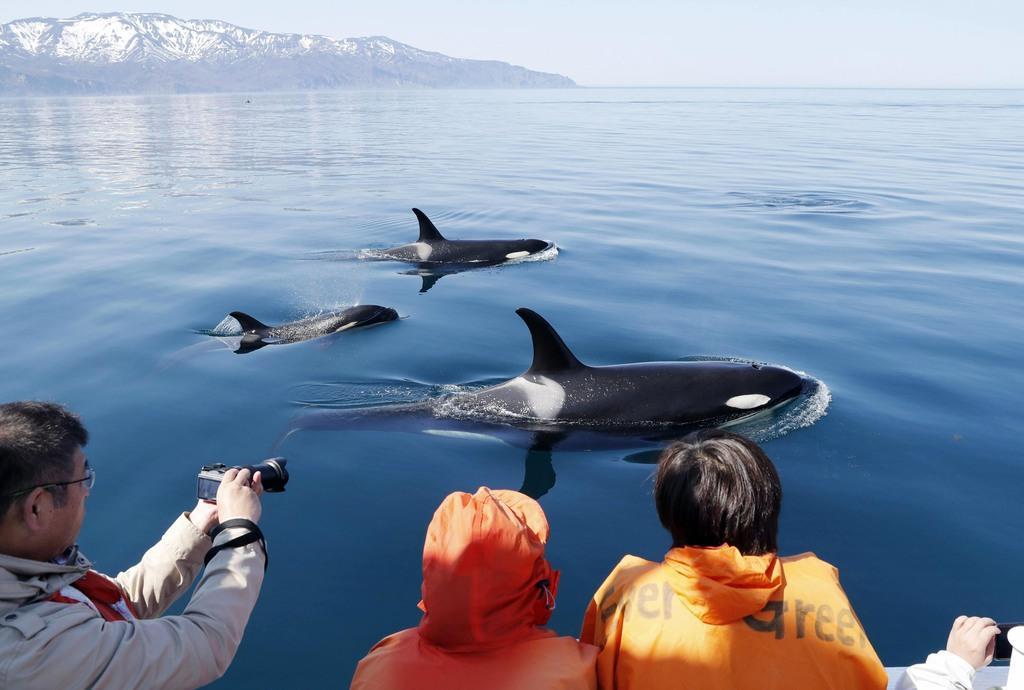 北海道・知床の沖合で泳ぐシャチの群れ。連日のように姿を現し、観光客を楽しませている。奥は知床半島=14日午後